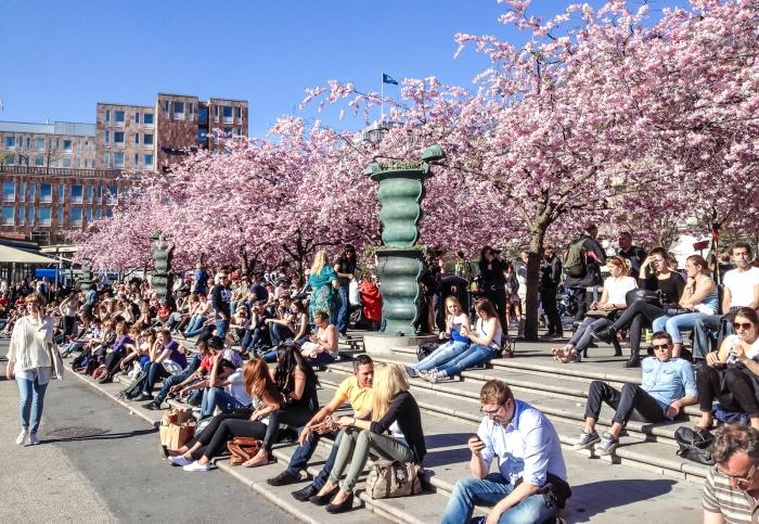 Цветущие вишни в Kungsträdgården